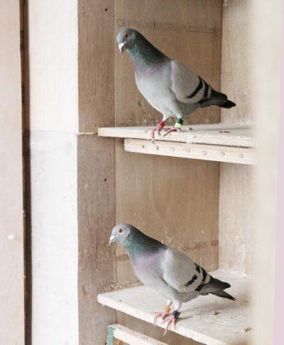afdelings_oost-brabant_postduivensport_organisatie_duiven